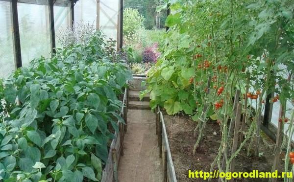 Как выращивать огурцы и томаты в одной теплице? 3
