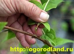 Садовый жасмин (Чубушник). Выращивание жасмина в саду 4