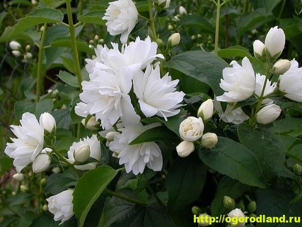Садовый жасмин (Чубушник). Выращивание жасмина в саду 1