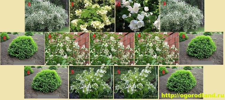Садовый жасмин (Чубушник). Выращивание жасмина в саду 5