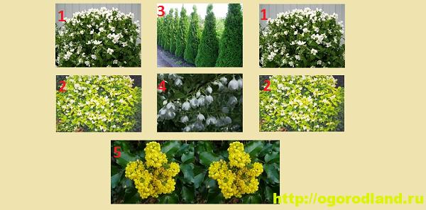 Садовый жасмин (Чубушник). Выращивание жасмина в саду 6
