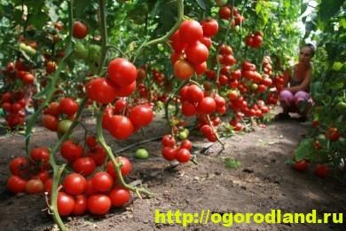 Как выращивать огурцы и томаты в одной теплице? 2