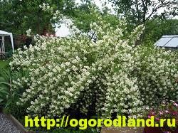 Садовый жасмин (Чубушник). Выращивание жасмина в саду 8