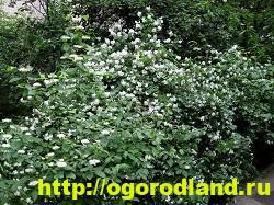 Садовый жасмин (Чубушник). Выращивание жасмина в саду 2