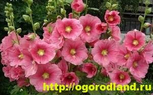 Однолетние цветы, рекомендованные к посадке на участке 2