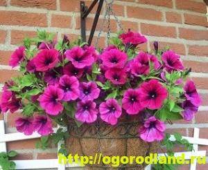 Однолетние цветы, рекомендованные к посадке на участке 4