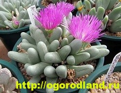 Живые камни (Литопс). Выращивание, размножение и уход 4