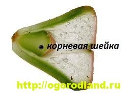 Живые камни (Литопс). Выращивание, размножение и уход 9