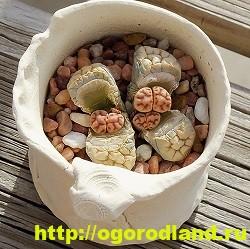 Живые камни (Литопс). Выращивание, размножение и уход 6