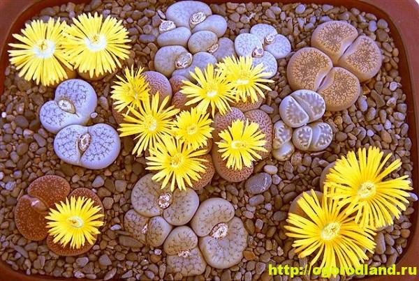 Живые камни (Литопс). Выращивание, размножение и уход 1