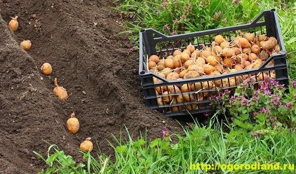 Как вырастить второй урожай картофеля?