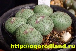 Живые камни (Литопс). Выращивание, размножение и уход 3