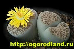 Живые камни (Литопс). Выращивание, размножение и уход