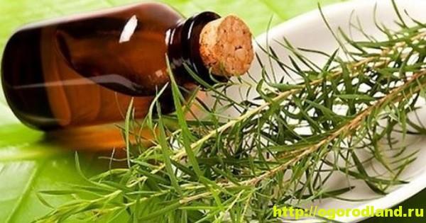 Масло чайного дерева. Полезные и лечебные свойства