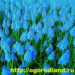 Весенние цветы для дачи. Апрельские и майские цветы 6