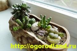 Живые камни (Литопс). Выращивание, размножение и уход 8