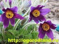 Весенние цветы для дачи. Апрельские и майские цветы 4