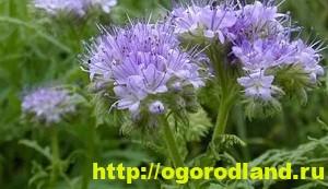 Фацелия - сидерат. Выращивание фацелии и её виды