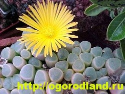Живые камни (Литопс). Выращивание, размножение и уход 5
