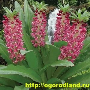 Эукомис. Экзотическое растение в наших садах. Посадка и уход 4