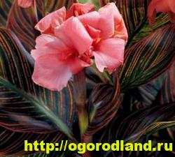 Канны. Красивые цветы на вашем участке. Выращивание канн 6