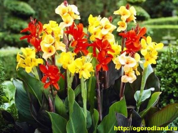 Канны. Красивые цветы на вашем участке. Выращивание канн 1