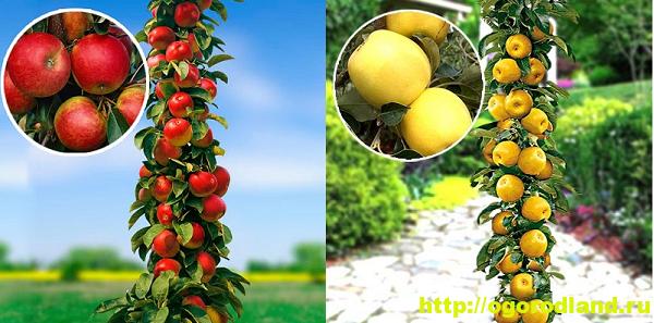 Колонновидные яблони. Особенности посадки и выращивания