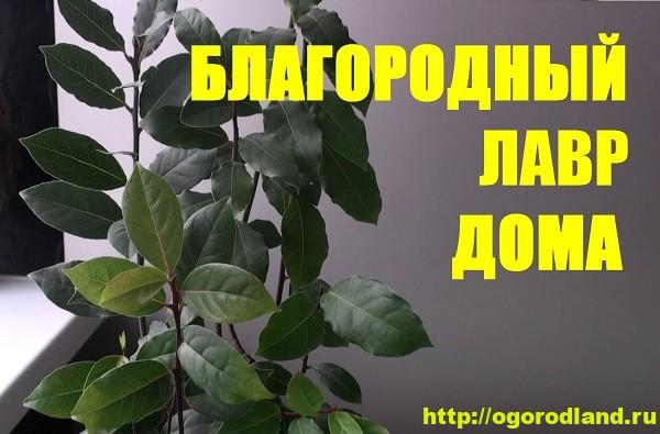 Лавр благородный. Выращивание в квартире и лечебные свойства
