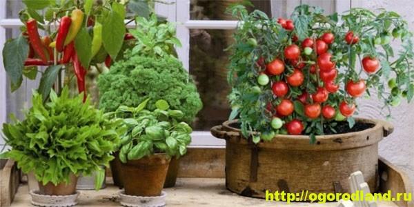 Домашний огород. Выращивание овощных культур на подоконнике