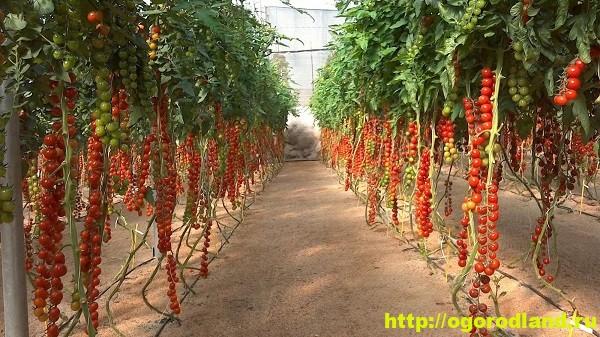 Основные правила выращивания томатов черри