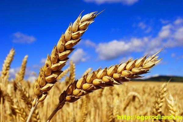Пшеница. Полезные и лечебные свойства