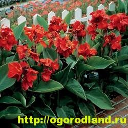 Канны. Красивые цветы на вашем участке. Выращивание канн 10