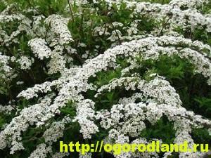 Спирея: выращивание и уход. Виды и сорта спиреи 4