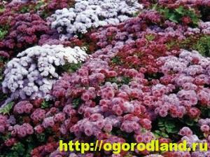 Агератум. Выращивание и уход 4