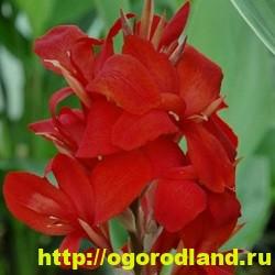 Канны. Красивые цветы на вашем участке. Выращивание канн 2