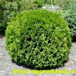 Туя – великолепное хвойное украшение сада