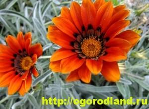 Цветы, похожие на ромашки, - основные виды