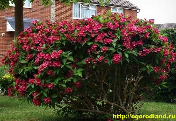 Вейгела - непопулярное растение, прекрасное украшения сада 16