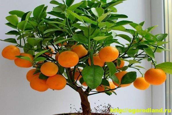 Как вырастить мандариновое дерево на подоконнике 1