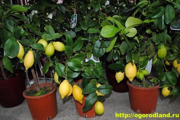Лимон. Выращивание и уход в домашних условиях 1