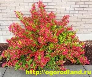 Вейгела - непопулярное растение, прекрасное украшения сада 2