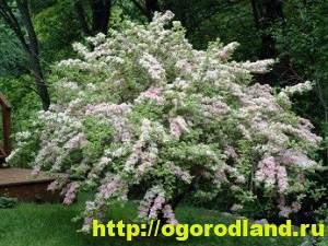 Вейгела - непопулярное растение, прекрасное украшения сада