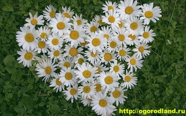 Цветы, похожие на ромашки, - основные виды 13