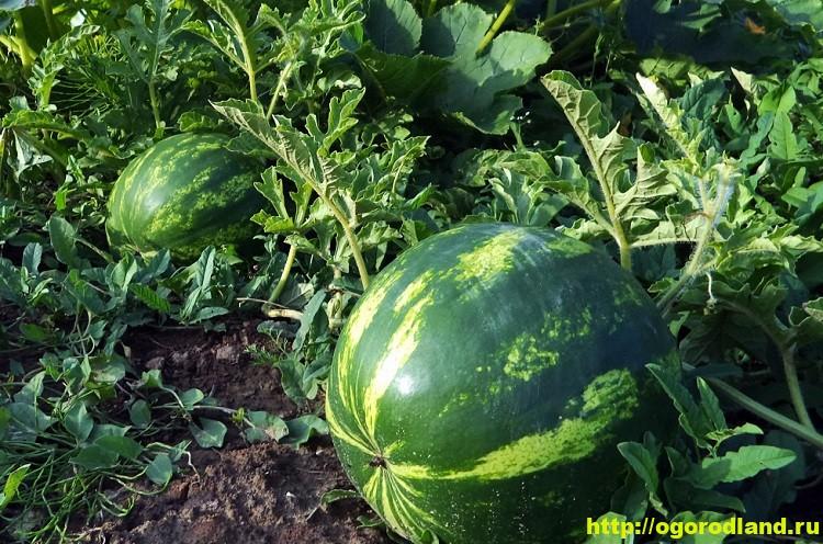 Арбуз. Выращивание арбузов в открытом грунте 1