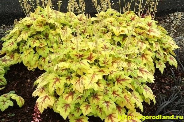 Гейхера – украшение сада яркой листвой. Выращивание гейхеры