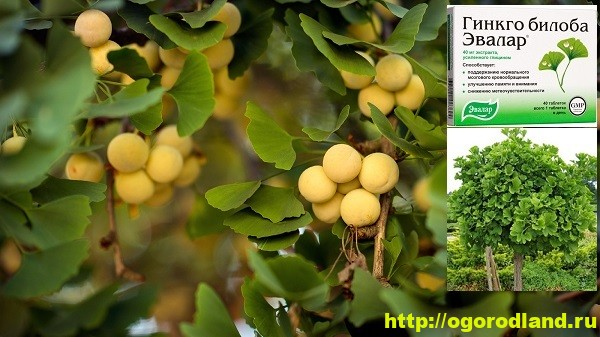 Полезные растения. Гинкго Билоба. Выращивание и применение