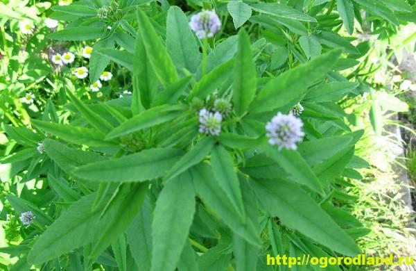 Грибная трава (пажитник). Полезные свойства и применение 3