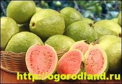 Тропические фрукты. Полезные свойства манго, папайи, гуайявы