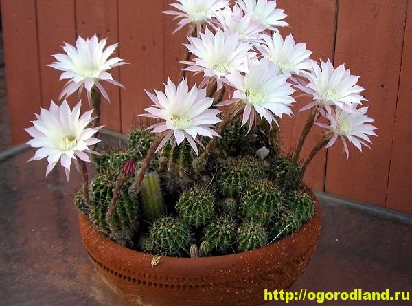 Кактус в доме. Как ухаживать за кактусом 1