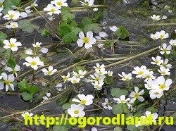 Лютик (Ранункулюс). Выращивание, уход, применение 10